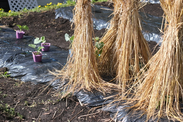 うね作り&マルチがけして定植、種芋落とし