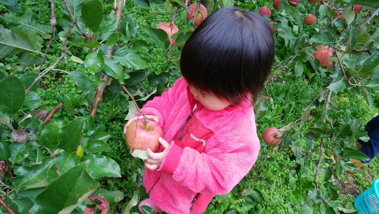りんごの木オーナー&市民農園の収穫☆林檎300個&大根15本