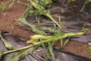 アナグマにトウモロコシを奪われた日